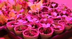 LED pestovani